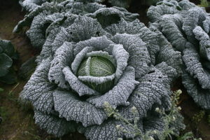 Frost_cabbage