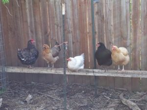 Perching Chickens