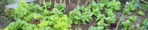 cropped-salad-garden2.jpg